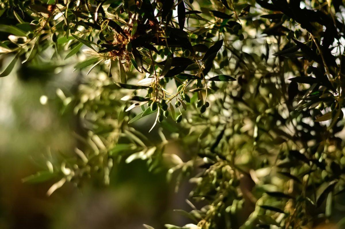 Photo des branches d'un olivier au soleil